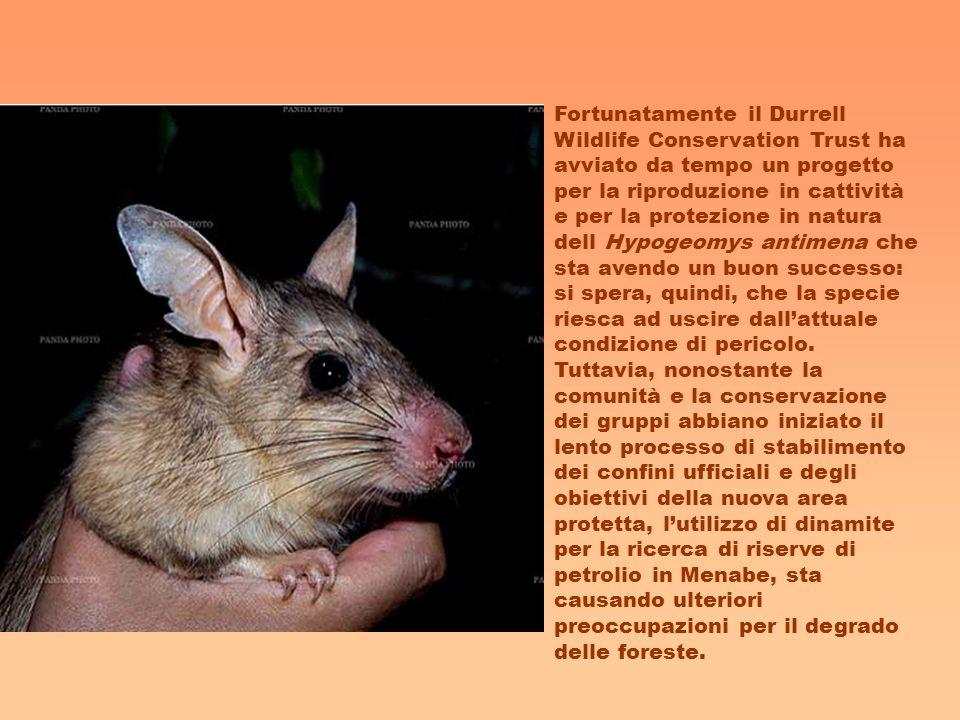 Fortunatamente il Durrell Wildlife Conservation Trust ha avviato da tempo un progetto per la riproduzione in cattività e per la protezione in natura d