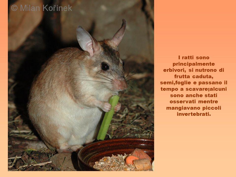 I ratti sono principalmente erbivori, si nutrono di frutta caduta, semi,foglie e passano il tempo a scavare;alcuni sono anche stati osservati mentre m