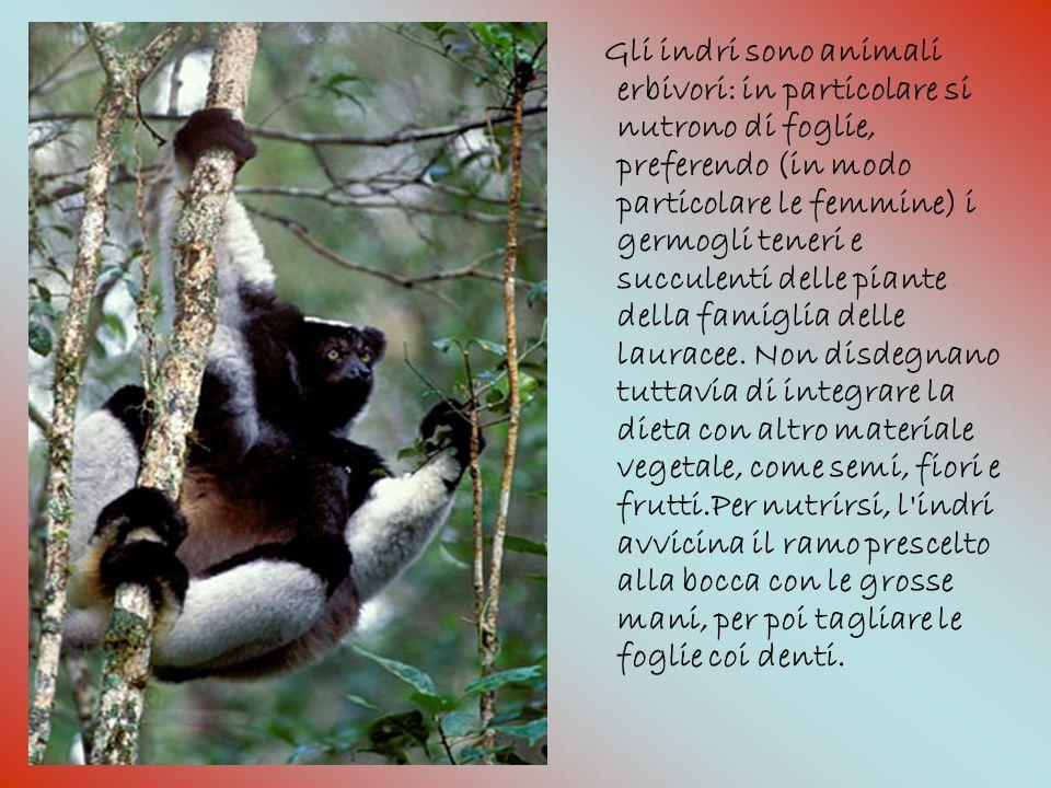 Gli indri sono animali erbivori: in particolare si nutrono di foglie, preferendo (in modo particolare le femmine) i germogli teneri e succulenti delle