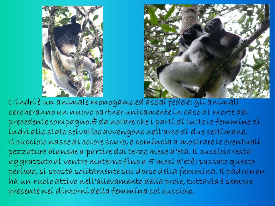 L'indri è un animale monogamo ed assai fedele: gli animali cercheranno un nuovo partner unicamente in caso di morte del precedente compagno.È da notar