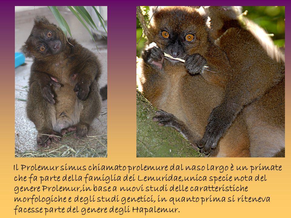 Il Prolemur simus chiamato prolemure dal naso largo è un primate che fa parte della famiglia dei Lemuridae,unica specie nota del genere Prolemur,in ba