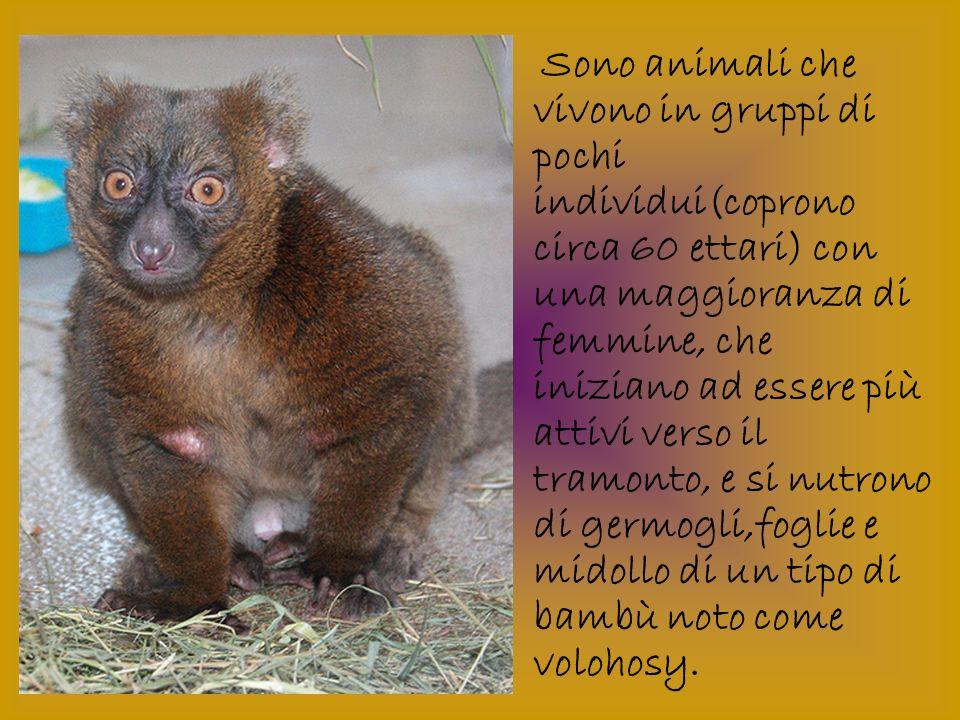 Sono animali che vivono in gruppi di pochi individui(coprono circa 60 ettari) con una maggioranza di femmine, che iniziano ad essere più attivi verso