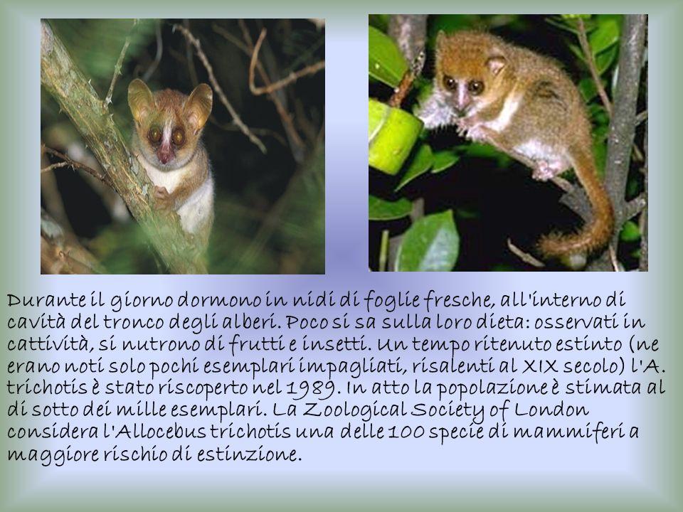 Questi animali vivono in piccoli gruppi familiari composti da una coppia più anziana e dai loro cuccioli a vari stadi di sviluppo.