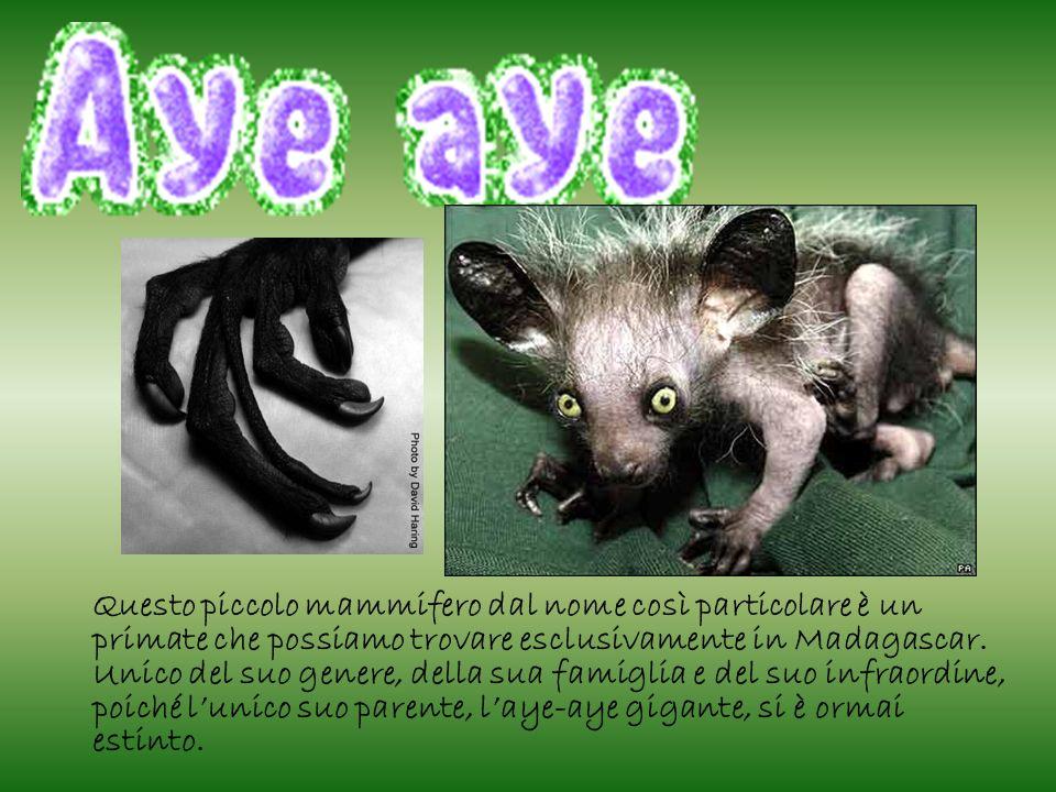 Questo animale è lungo circa 80 cm, (compresi ben 40 cm di coda)e per il suo aspetto sembra l unione di molti animali: il pipistrello per le orecchie, la volpe per il muso, il gatto per gli occhi, la scimmia per il corpo, lo scoiattolo per coda e denti.