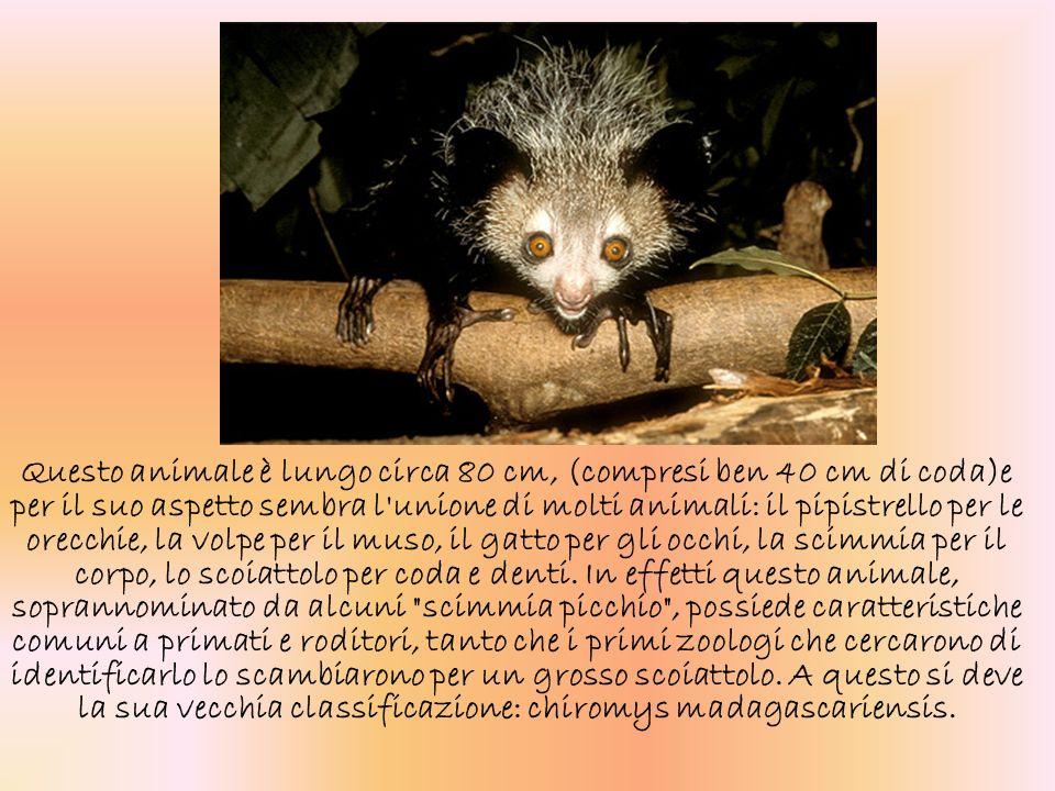 Questo animale è lungo circa 80 cm, (compresi ben 40 cm di coda)e per il suo aspetto sembra l'unione di molti animali: il pipistrello per le orecchie,