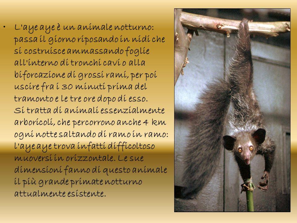 L'aye aye è un animale notturno: passa il giorno riposando in nidi che si costruisce ammassando foglie all'interno di tronchi cavi o alla biforcazione
