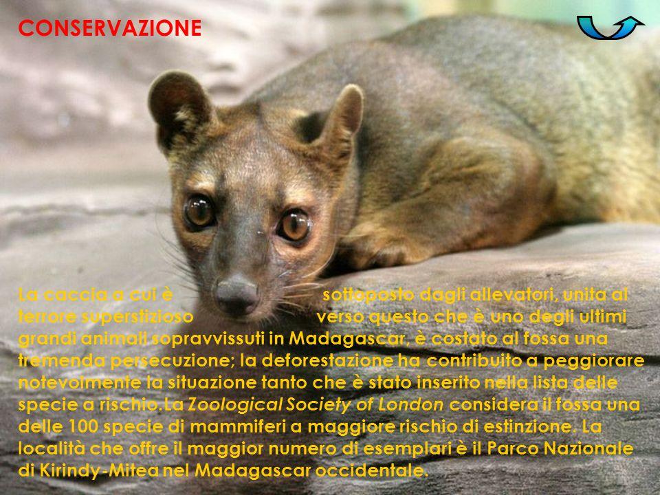La caccia a cui è sottoposto dagli allevatori, unita al terrore superstizioso verso questo che è uno degli ultimi grandi animali sopravvissuti in Mada