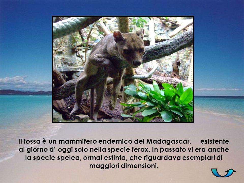 Il fossa è un mammifero endemico del Madagascar, esistente al giorno d oggi solo nella specie ferox. In passato vi era anche la specie spelea, ormai e
