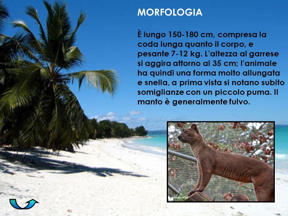 MORFOLOGIA È lungo 150-180 cm, compresa la coda lunga quanto il corpo, e pesante 7-12 kg. L'altezza al garrese si aggira attorno ai 35 cm; l'animale h