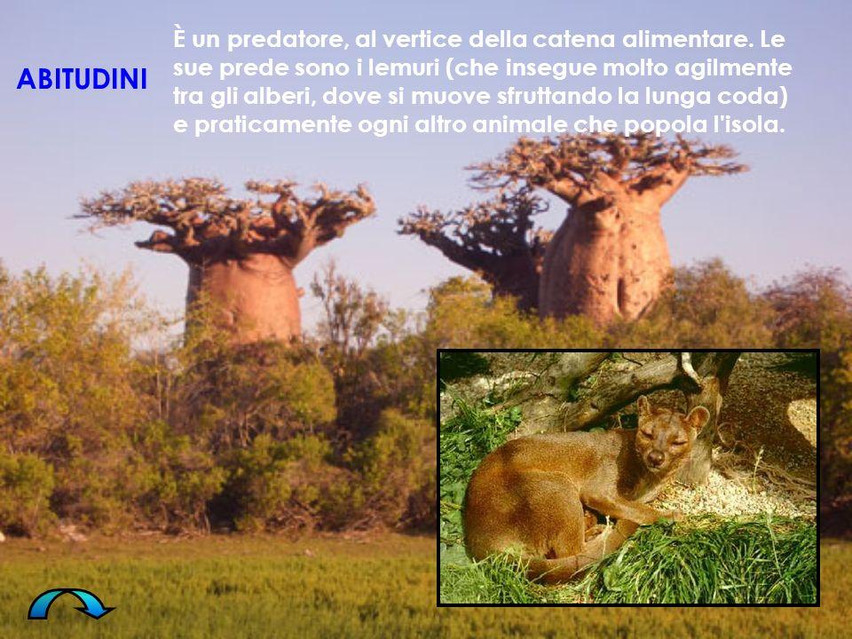 È un predatore, al vertice della catena alimentare. Le sue prede sono i lemuri (che insegue molto agilmente tra gli alberi, dove si muove sfruttando l