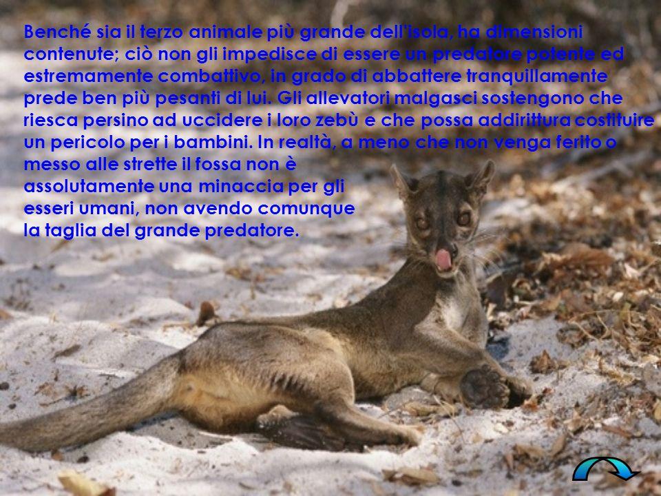 Il fossa è un animale solitario, eccetto che nella stagione degli accoppiamenti (settembre - novembre) ; ogni esemplare occupa un territorio piuttosto vasto, tanto che alcuni fossa sono stati visti percorrere oltre 7 km in una notte.