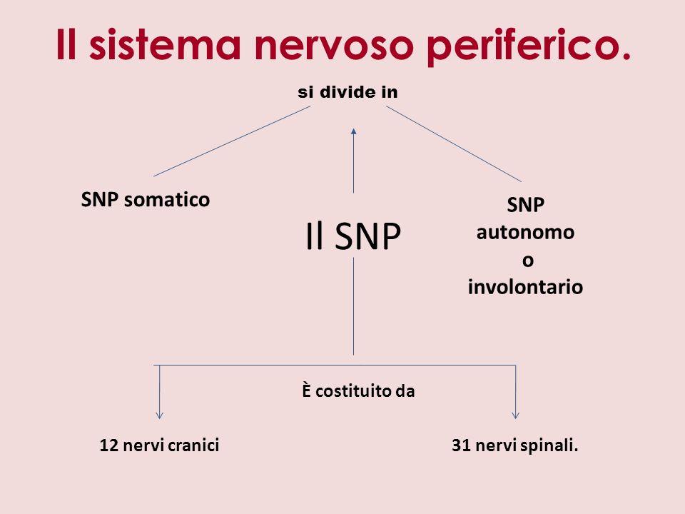 Il SNP SNP somatico SNP autonomo o involontario si divide in È costituito da 12 nervi cranici31 nervi spinali.