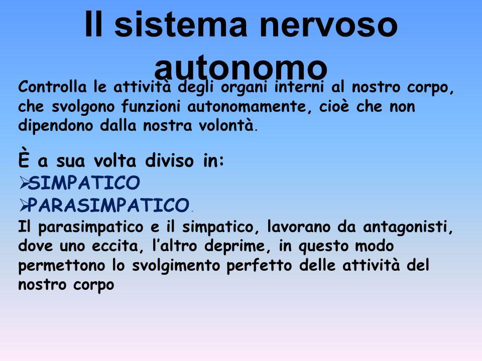 Il sistema nervoso autonomo Controlla le attività degli organi interni al nostro corpo, che svolgono funzioni autonomamente, cioè che non dipendono dalla nostra volontà.