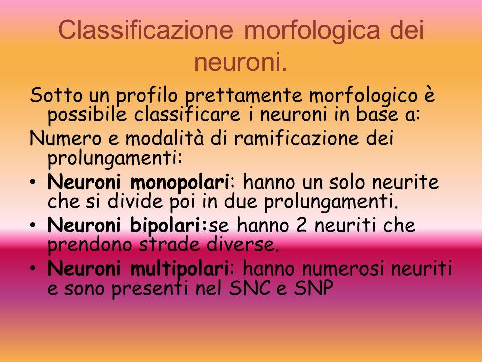 Classificazione morfologica dei neuroni.