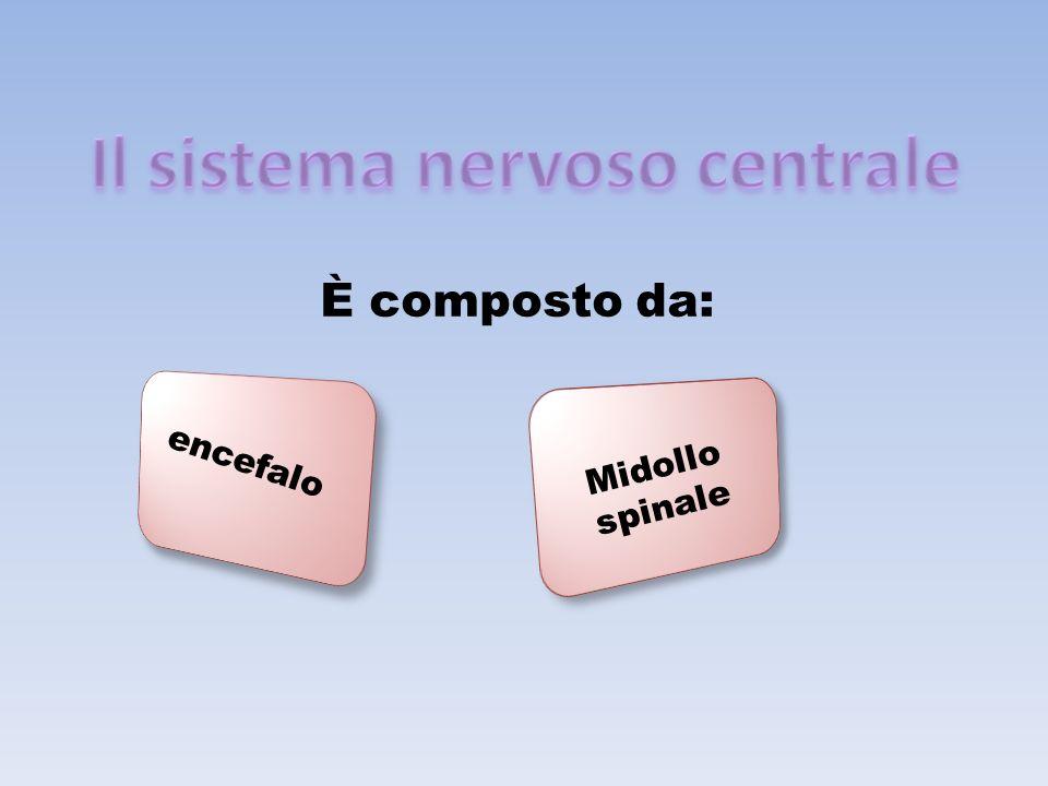 È composto da: encefalo Midollo spinale