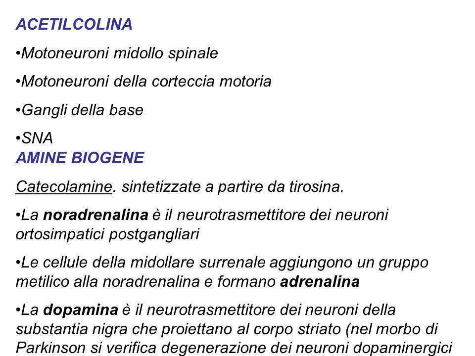 ACETILCOLINA Motoneuroni midollo spinale Motoneuroni della corteccia motoria Gangli della base SNA AMINE BIOGENE Catecolamine.