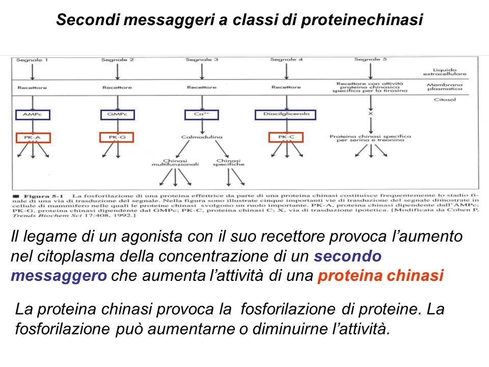 Secondi messaggeri a classi di proteinechinasi Il legame di un agonista con il suo recettore provoca laumento nel citoplasma della concentrazione di un secondo messaggero che aumenta lattività di una proteina chinasi La proteina chinasi provoca la fosforilazione di proteine.