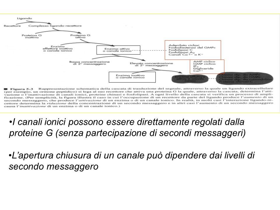I canali ionici possono essere direttamente regolati dalla proteine G (senza partecipazione di secondi messaggeri) Lapertura chiusura di un canale può dipendere dai livelli di secondo messaggero