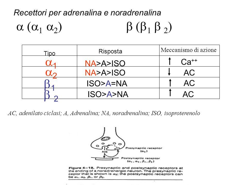 Recettori per adrenalina e noradrenalina ( 1 2 ) 1 2 1 2 Tipo Risposta Meccanismo di azione AC Ca ++ NA>A>ISO ISO>A=NA ISO>A>NA AC, adenilato ciclasi; A, Adrenalina; NA, noradrenalina; ISO, isoproterenolo