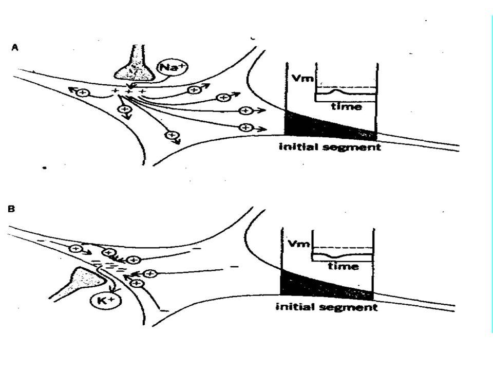Sommazione dei potenziali postsinaptici Sommazione spaziale Input1 Input2Input 1 + 2 Sommazione temporale Input1Input1+ Input1 Input 1 Input 2