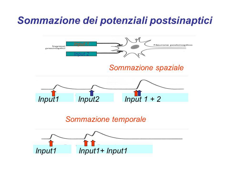 Recettori per i neurotrasmettitori Recettori ionotropi - Sono canali ionici regolati da ligandi.