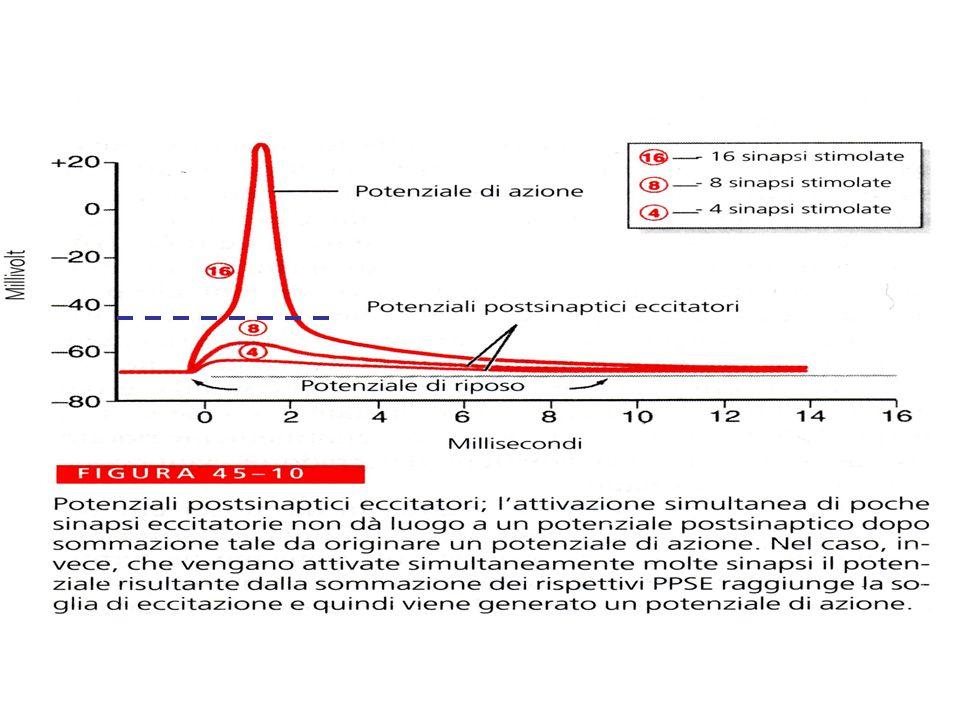 Inibizione presinaptica Viene inibito il rilascio di neurotrasmettitore da parte di una sinapsi eccitatorio Il neurone postsinaptico è inibito in quanto non viene depolarizzato