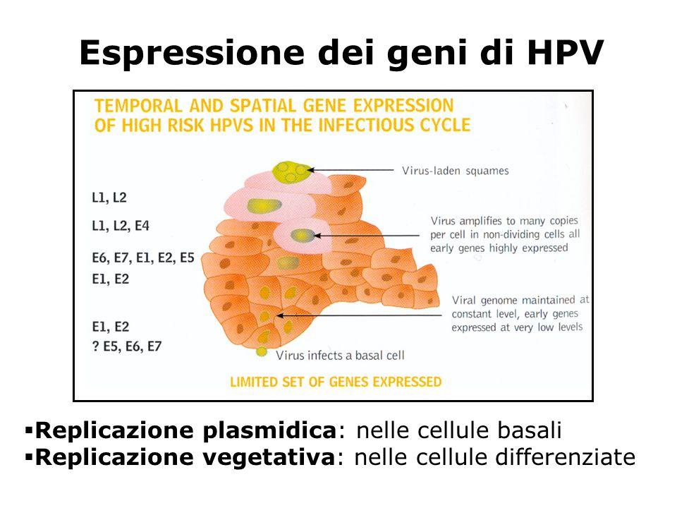 Espressione dei geni di HPV Replicazione plasmidica: nelle cellule basali Replicazione vegetativa: nelle cellule differenziate