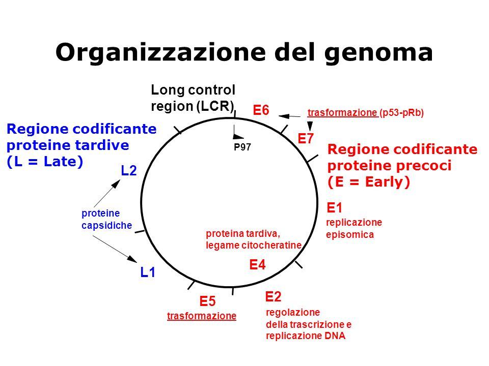 Organizzazione del genoma E6 E7 E2 E4 E5 L1 L2 E1 Long control region (LCR) trasformazione (p53-pRb) trasformazione replicazione episomica proteina ta