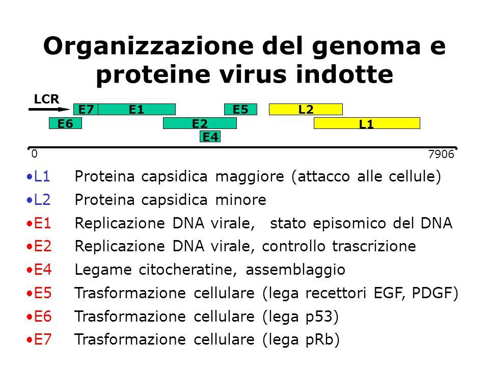 Organizzazione del genoma e proteine virus indotte 7906 E7 E6 E1 E2 E5L2 E4 LCR 0 L1Proteina capsidica maggiore (attacco alle cellule) L2 Proteina cap