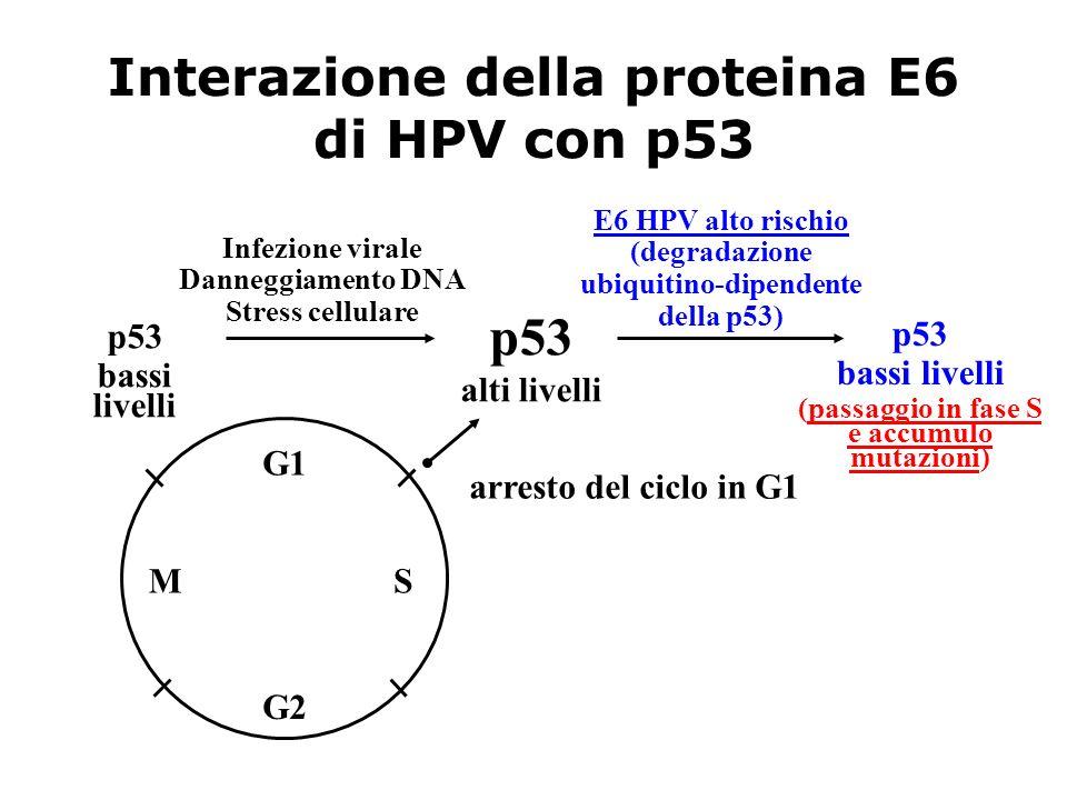 Interazione della proteina E6 di HPV con p53 p53 bassi livelli (passaggio in fase S e accumulo mutazioni) p53 bassi livelli p53 alti livelli E6 HPV al