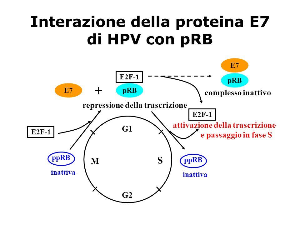 Interazione della proteina E7 di HPV con pRB G1 S G2 M ppRB inattiva ppRB inattiva E2F-1 repressione della trascrizione E2F-1 pRB E7 + pRB complesso i