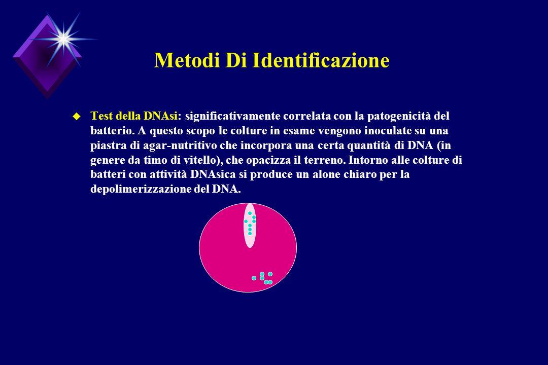 Metodi Di Identificazione u Test della DNAsi: significativamente correlata con la patogenicità del batterio. A questo scopo le colture in esame vengon