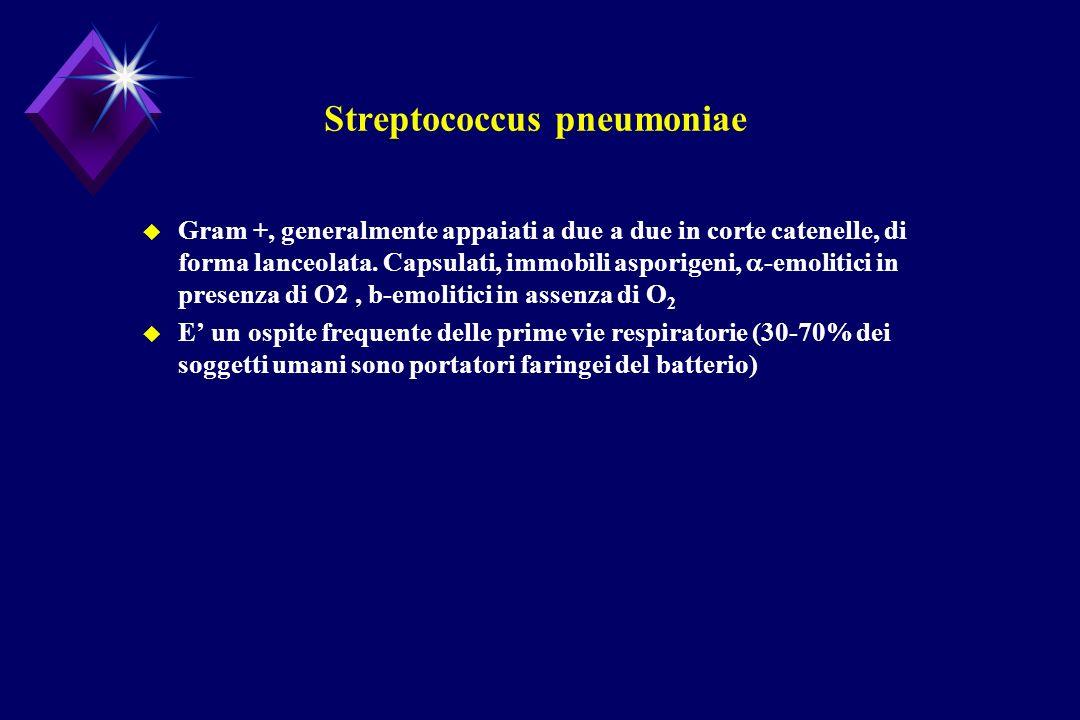 Streptococcus pneumoniae Gram +, generalmente appaiati a due a due in corte catenelle, di forma lanceolata. Capsulati, immobili asporigeni, -emolitici