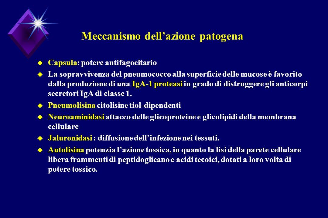 Meccanismo dellazione patogena u Capsula: potere antifagocitario u La sopravvivenza del pneumococco alla superficie delle mucose è favorito dalla prod