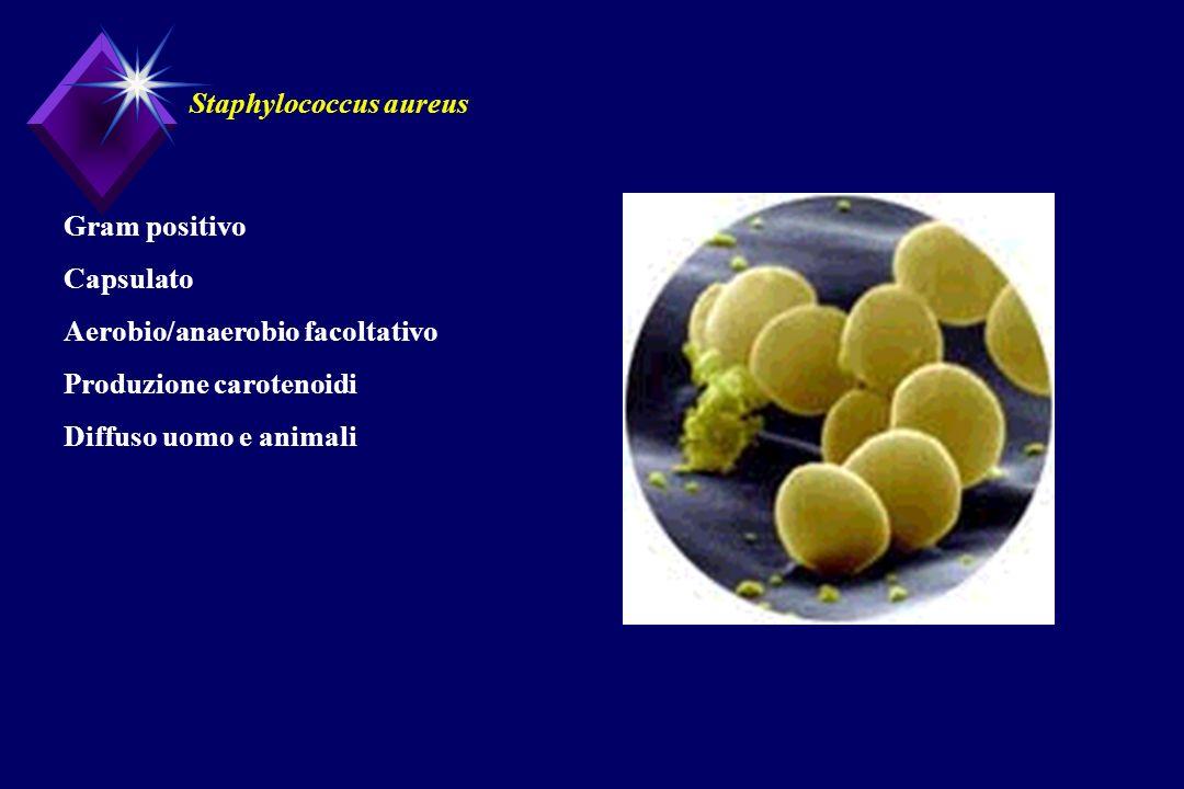 Staphylococcus aureus Gram positivo Capsulato Aerobio/anaerobio facoltativo Produzione carotenoidi Diffuso uomo e animali
