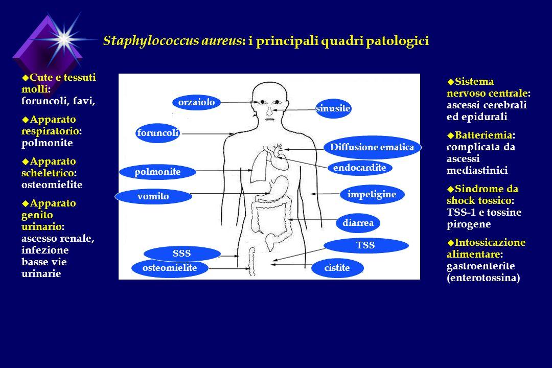 orzaiolo sinusite foruncoli endocardite diarrea osteomielitecistite TSS SSS vomito polmonite impetigine Diffusione ematica Staphylococcus aureus : i p