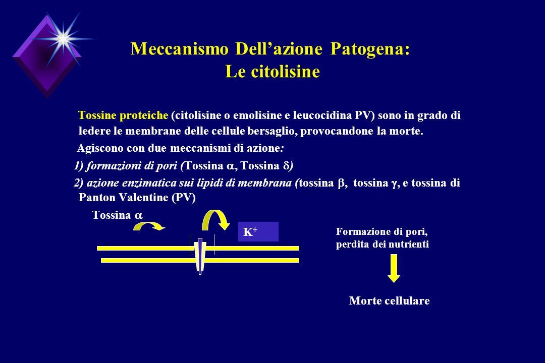 Meccanismo Dellazione Patogena: Le citolisine Tossine proteiche (citolisine o emolisine e leucocidina PV) sono in grado di ledere le membrane delle ce