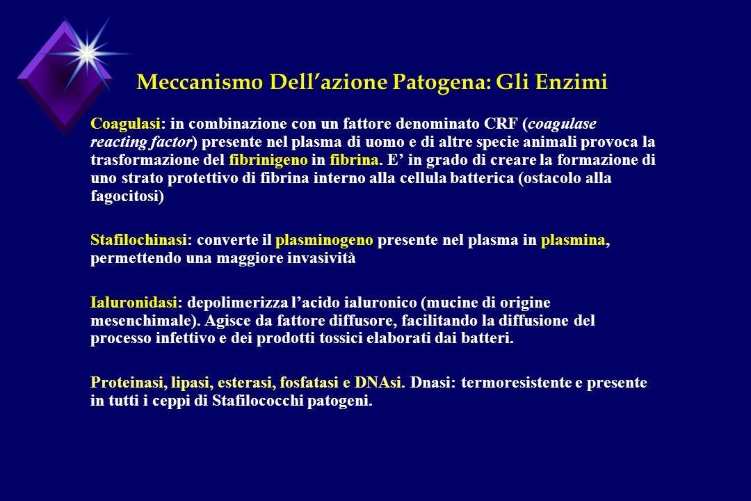 Meccanismo Dellazione Patogena: Gli Enzimi Coagulasi: in combinazione con un fattore denominato CRF (coagulase reacting factor) presente nel plasma di