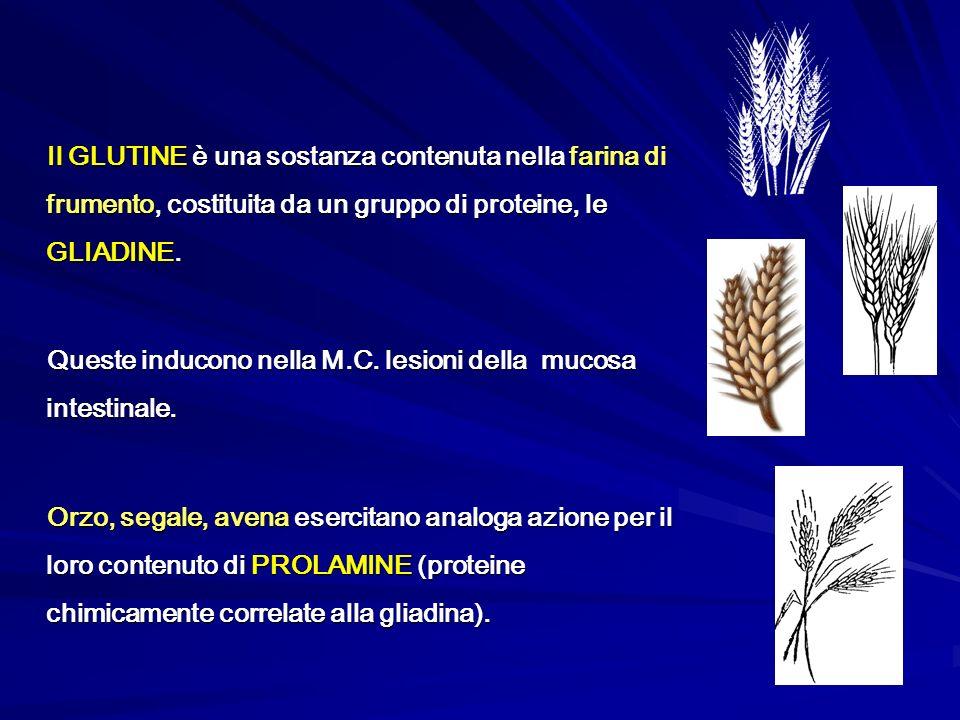 Il GLUTINE è una sostanza contenuta nella farina di frumento, costituita da un gruppo di proteine, le GLIADINE. Queste inducono nella M.C. lesioni del