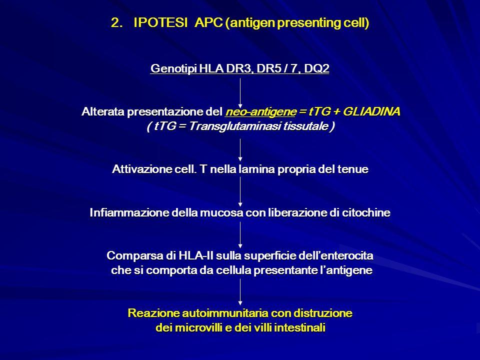 2. IPOTESI APC (antigen presenting cell) Genotipi HLA DR3, DR5 / 7, DQ2 Alterata presentazione del neo-antigene = tTG + GLIADINA ( tTG = Transglutamin