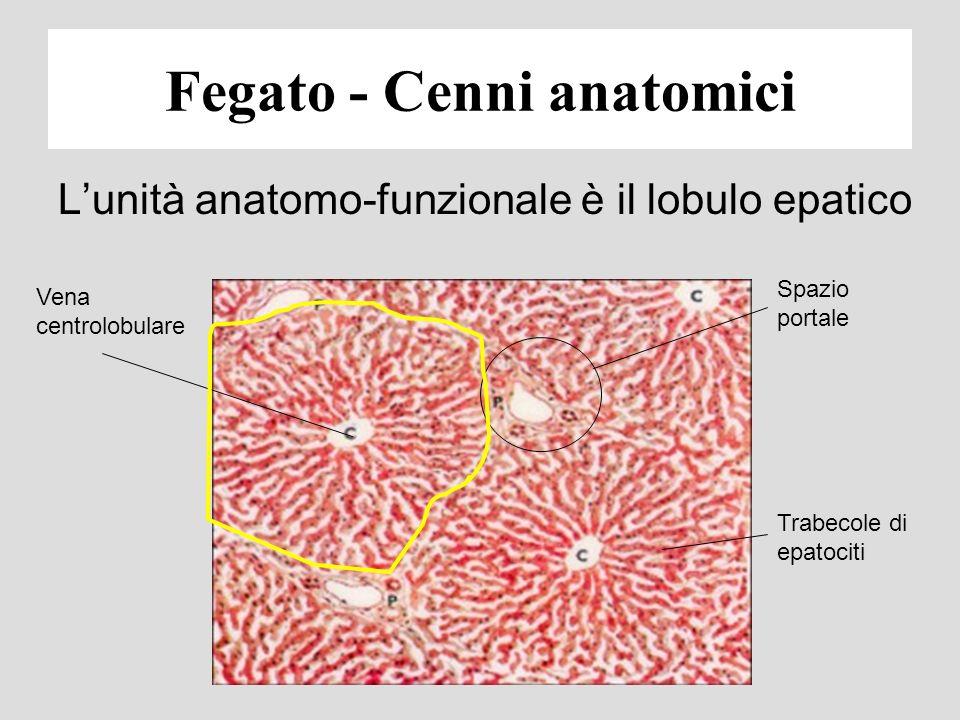 Lunità anatomo-funzionale è il lobulo epatico Vena centrolobulare Spazio portale Trabecole di epatociti Fegato - Cenni anatomici