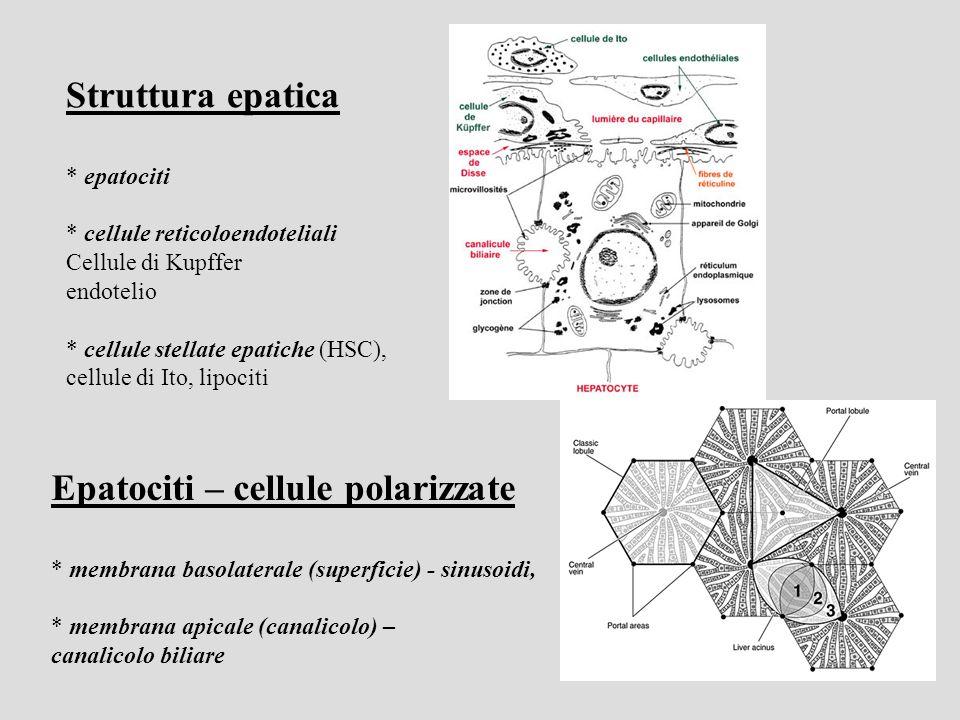 Struttura epatica * epatociti * cellule reticoloendoteliali Cellule di Kupffer endotelio * cellule stellate epatiche (HSC), cellule di Ito, lipociti Epatociti – cellule polarizzate * membrana basolaterale (superficie) - sinusoidi, * membrana apicale (canalicolo) – canalicolo biliare