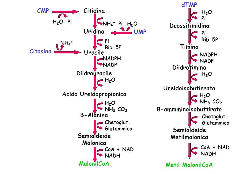 Citidina Uridina Uracile Diidrouracile Acido Ureidopropionico B-Alanina Semialdeide Malonica MalonilCoA Citosina CMP UMP dTMP Deossitimidina Timina Di