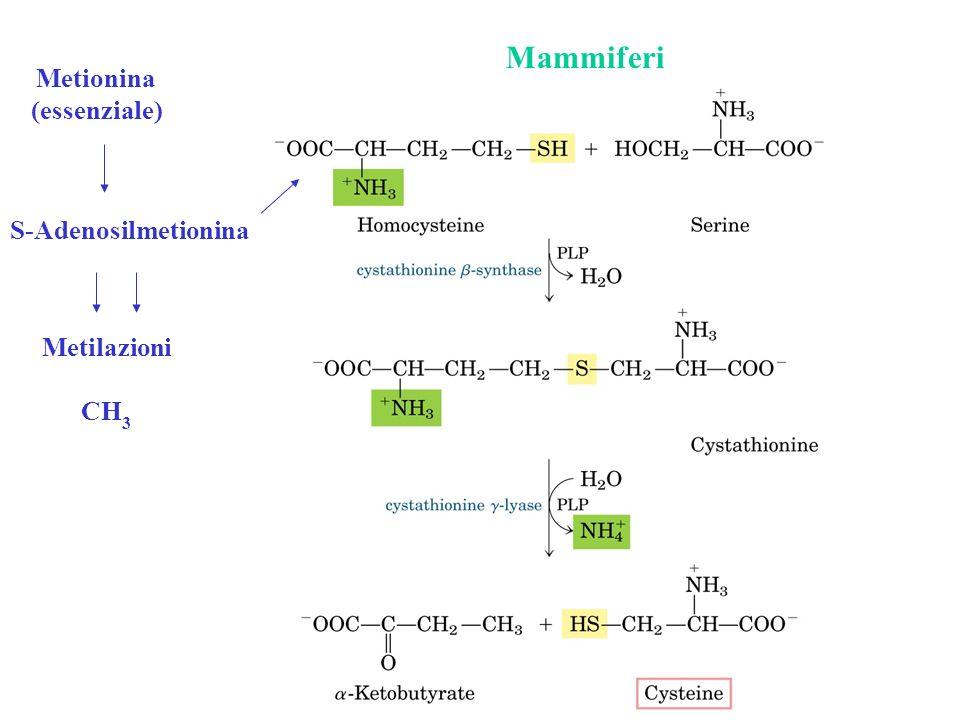 Mammiferi Metionina (essenziale) S-Adenosilmetionina Metilazioni CH 3