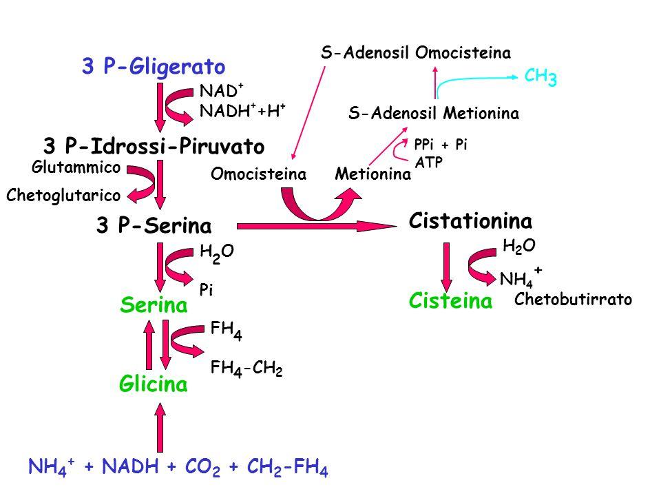 3 P-Gligerato 3 P-Idrossi-Piruvato 3 P-Serina Serina Glicina NAD + NADH + +H + Glutammico Chetoglutarico H 2 O Pi FH 4 FH 4 -CH 2 Omocisteina Metionina Cistationina Cisteina NH 4 + Chetobutirrato S-Adenosil Metionina NH 4 + + NADH + CO 2 + CH 2 -FH 4 H2OH2O PPi + Pi ATP S-Adenosil Omocisteina CH 3
