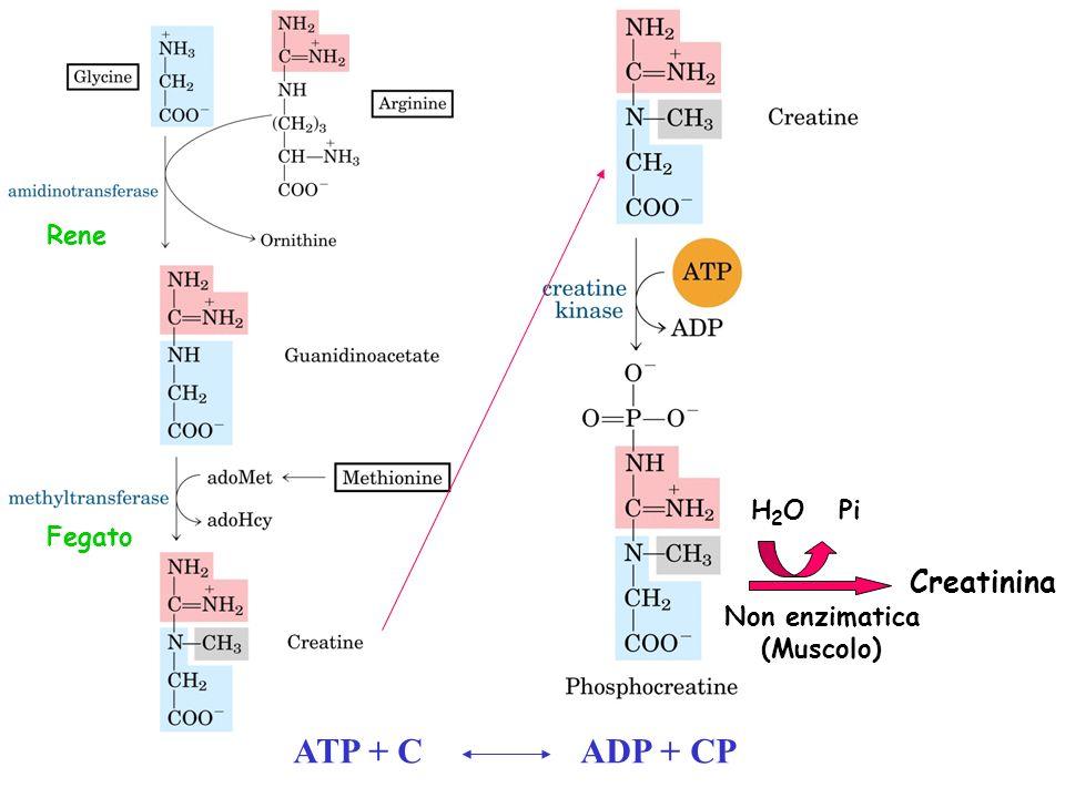 ATP + C ADP + CP Creatinina H 2 O Pi Non enzimatica (Muscolo) Rene Fegato