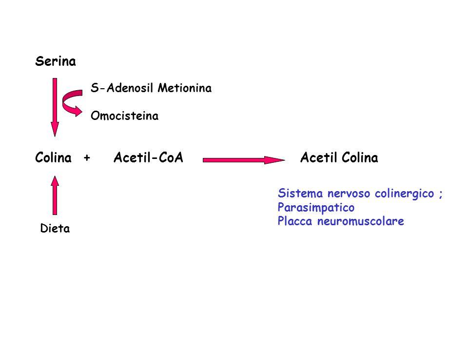 Serina Colina + Acetil-CoA Acetil Colina S-Adenosil Metionina Omocisteina Dieta Sistema nervoso colinergico ; Parasimpatico Placca neuromuscolare
