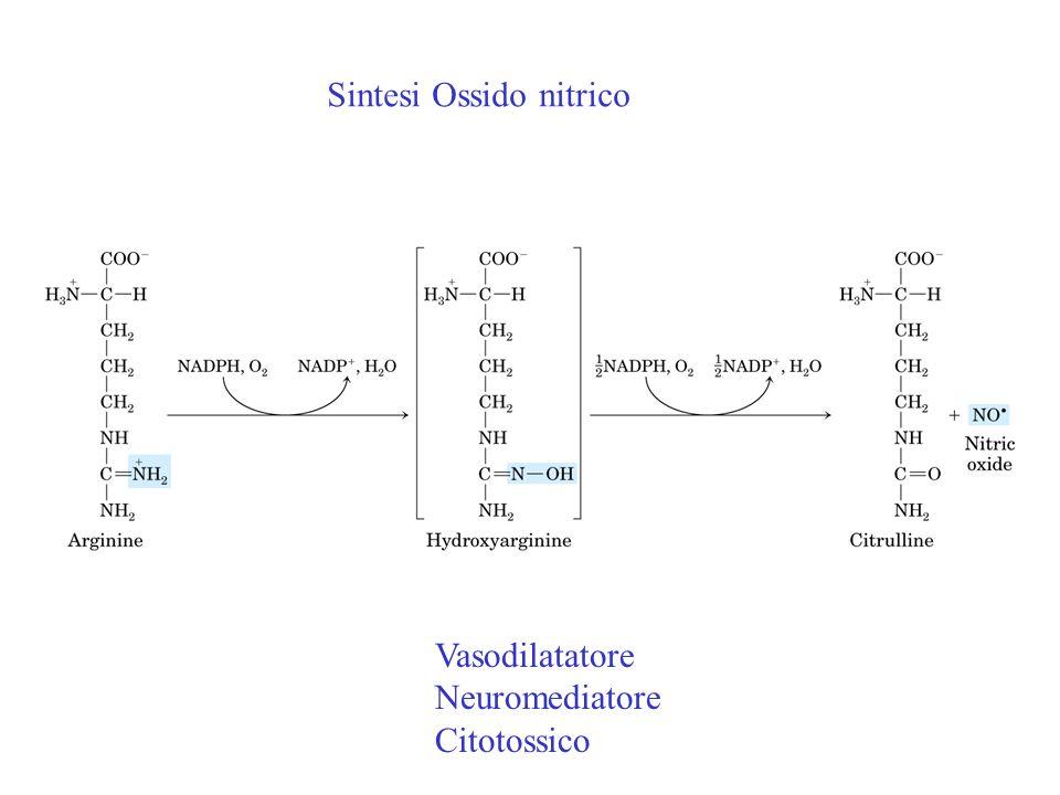 Vasodilatatore Neuromediatore Citotossico Sintesi Ossido nitrico