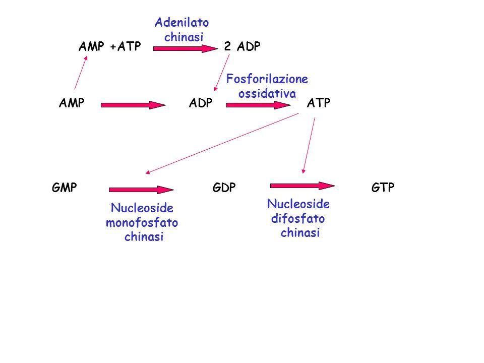 AMP ADP ATP AMP +ATP 2 ADP GMP GDP GTP Nucleoside difosfato chinasi Nucleoside monofosfato chinasi Adenilato chinasi Fosforilazione ossidativa