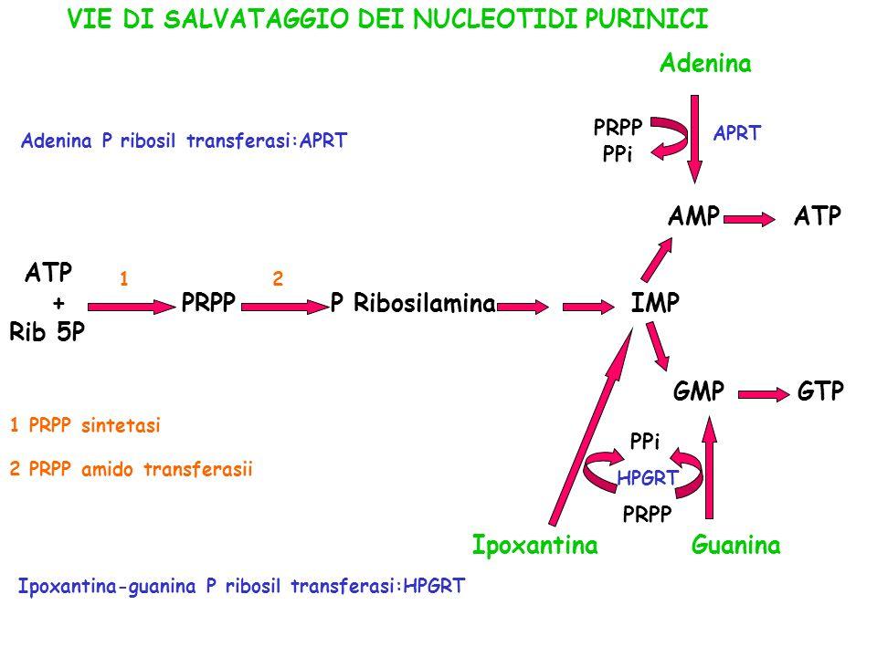 ATP + PRPP P Ribosilamina IMP Rib 5P AMP ATP GMP GTP Ipoxantina Guanina PRPP Adenina PRPP PPi 12 APRT HPGRT 1 PRPP sintetasi 2 PRPP amido transferasii
